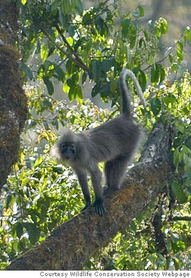 monkey23_ph2.JPG Named the �Highland Mangabey� (Lophocebus kipunji), this long-haired forest primate was first discovered by biologists from the Wildlife Conservation Society (WCS) on the flanks of the 10,000 ft (2961 m) volcano Mt. Rungwe and in the adjoining Kitulo National Park. Courtesy Wildlife Conservation Society Webpage Photo: Courtesy