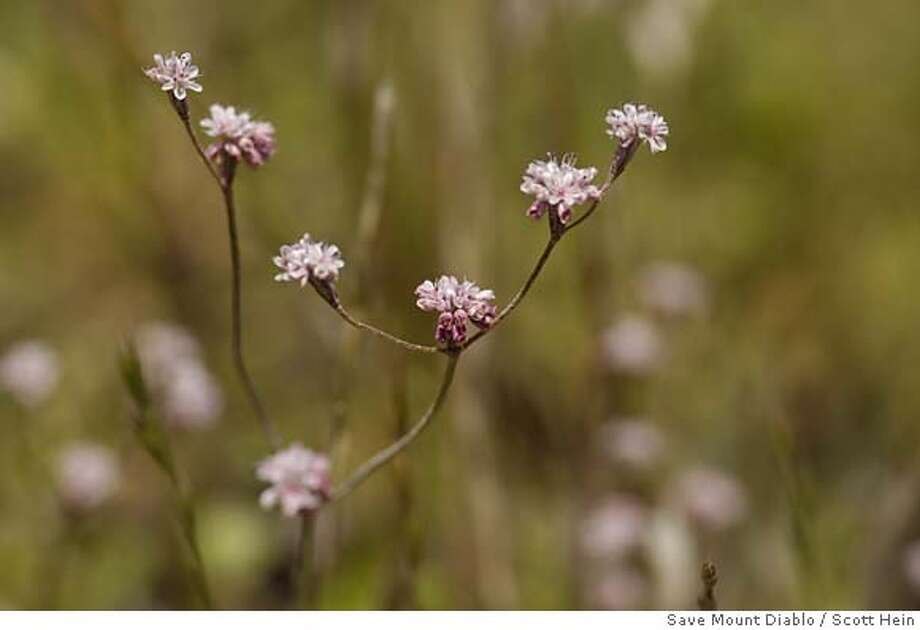 buckwheat25_ph3.JPG May 20, 2005 - Close up of Mt. Diablo Buckwheat branched flowers, which were rediscovered after being presumed extinct for 69 years. Photo Credit: Scott Hein/Save Mount Diablo Photo: Photo Credit:
