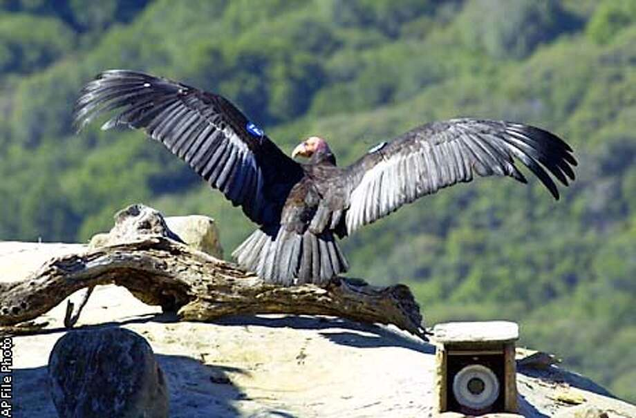 ** FILE ** This is an April 4, 2000, photo showing Adult Condor 8 as she was being released back into the wild near the Sesspe Condor Sanctuary near Fillmore, Calif. The female California condor, one of the original birds brought from the wild into a captive breeding program in the 1980s, was found shot to death in Kern County on Feb. 13, 2003. The bird, captured in 1986, was one of the last females brought into captivity and one of the first of the original wild birds to be released in 2000. (AP Photo/US Fish and Wildlife Service, Scott Frier, File) Photo: SCOTT FRIER