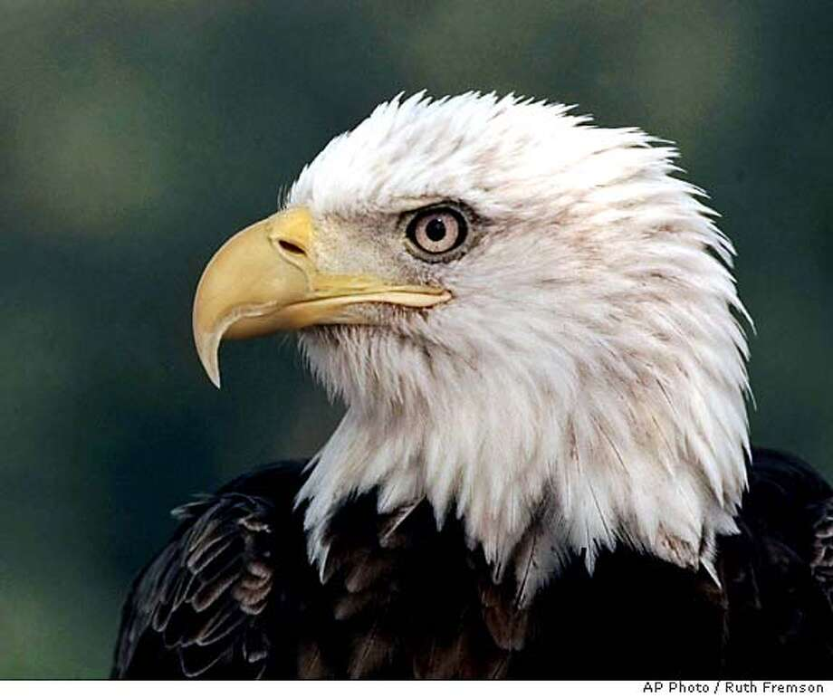 FILE--A bald eagle is shown in this July 22, 1997, file photo. The American bald eagle, once near extinction, has made such a powerful comeback it will soon be removed from federal protection, perhaps formally on the Fourth of July. (AP Photo/Ruth Fremson) CAT Travel#Travel#Chronicle#11/28/2004#ALL#Advance##422022873 Photo: RUTH FREMSON