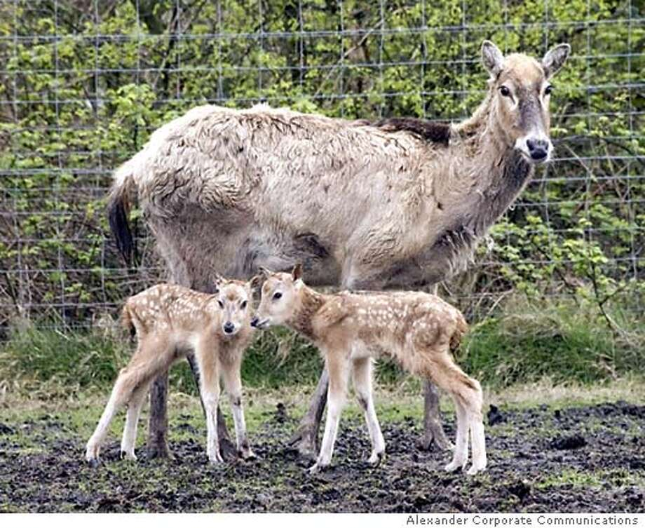 Undated picture shows twin fawns and their mother which are believed to be the first twin Pere David deers born in captivity at Knowsley Safari Park, in Merseyside. Baby Mi-Lu, only a few weeks old was rejected by its mother and has been adopted by a pair of dogs it was announced 28 April 2005. Pere David deer are originally from the China swampland where they were discovered in 1865 by the French missionary and explorer, Pere Armand David. AFP Photo/Alexander Corporate Communications (Photo credit should read STR/AFP/Getty Images) Ran on: 05-19-2005  The twin fawns produced by this doe are believed to be the first twin Pere David's deer born in captivity in a park in England. Ran on: 05-19-2005  Endangered Pere David's deer, which were reintroduced to China Ran on: 05-19-2005  Endangered Pere David's deer, which were reintroduced to China Photo: STR
