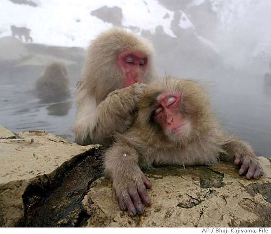 Japanese Macaque monkeys groom each other, sitting in a hot spring in the snow at Jigokudani Wild Monkey Park in Yamanouchi, Nagano prefecture, central Japan, Monday, Jan. 19, 2004. Some 250 monkeys in two groups, inhabit the nearby mountain and are fed in the park. The Chinese New Year falls on Jan. 22, and this year is the year of monkey. (AP Photo/Shuji Kajiyama) Photo: SHUJI KAJIYAMA