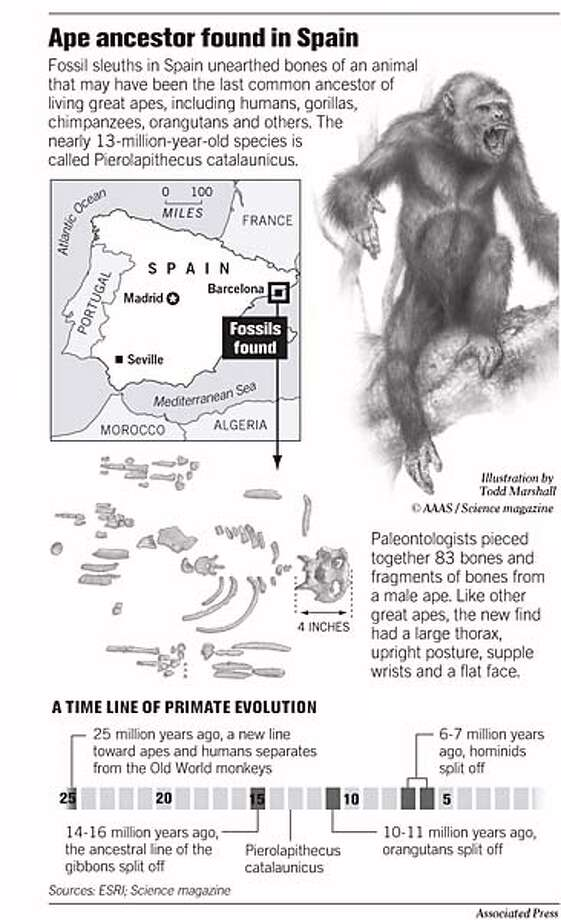Ape Ancestor Found in Spain. Associated Press Graphic Photo: John Blanchard