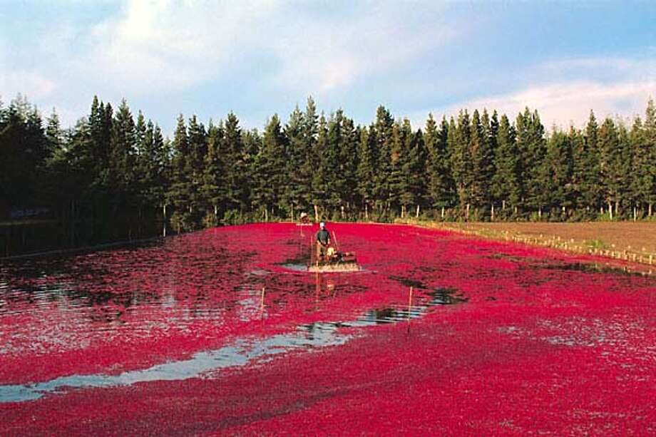 Cranberry Harvest Oregon, USA Travel#Travel#Chronicle#11/21/2004#ALL#Advance##0422472167