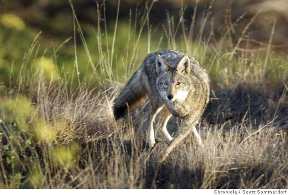 COYOTE_01_ss.JPG  A coyote keeps a wary eye on a visitor to Bernal Hill in the Bernal Heights neighborhood of San Francisco, early on Tuesday morning, November 12th, 2003. The coyote has been spotted by hikers and dog owners walking their dogs on the hill for over a week now. There have been some dogs who have chased it, but there are no reports that the coyote is aggresive or menacing in any way. It seems only to stalk the hillsides looking for small rodents.  SCOTT SOMMERDORF / The Chronicle A coyote keeps a wary eye on a human invading its space on Bernal Hill, in the Bernal Heights neighborhood of San Francisco. A coyote keeps a wary eye on a human invading its space atop the Bernal Heights neighborhood. Photo caption coyote13_PH11068595200The ChronicleCOYOTE_01_ss.JPG  A coyote keeps a wary eye on a visitor to Bernal Hill in the Bernal Heights neighborhood of San Francisco, early on Tuesday morning, November 12th, 2003. The coyote has been spotted by hikers and dog owners walking their dogs on the hill for over a week now. There have been some dogs who have chased it, but there are no reports that the coyote is aggresive or menacing in any way. It seems only to stalk the hillsides looking for small rodents.  SCOTT SOMMERDORF - The Chronicle MANDATORY CREDIT FOR PHOTOG AND SF CHRONICLE- -MAGS OUT CAT MANDATORY CREDIT FOR PHOTOG AND SF CHRONICLE/ -MAGS OUT Metro#MainNews#Chronicle#11/25/2004#ALL#5star##0421482373 Photo: SCOTT SOMMERDORF
