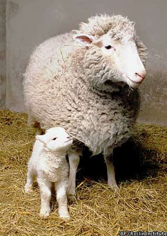 Dolly, the first ever mammal to be successfully cloned from an adult cell, with her first lamb, named 'Bonnie,' are seen at the Roslin Institute in Edinburgh, Scotland in this recent picture made available Thursday, April 23, 1998. Dolly, who was naturally mated at the end of last year with a Welsh Mountain ram, gave birth to Bonnie Monday, April 13, 1998, proving that despite her unusual origins, she is able to breed normally and produce healthy offspring. (AP Photo/Roslin Institute) EDS NOTE: UNITED KINGDOM AND EUROPE OUT; , , NO FILES, ONE TIME USE ONLY WITHIN THE NEXT 24 HRS IN CONNECTION WITH THE NEWS STORY