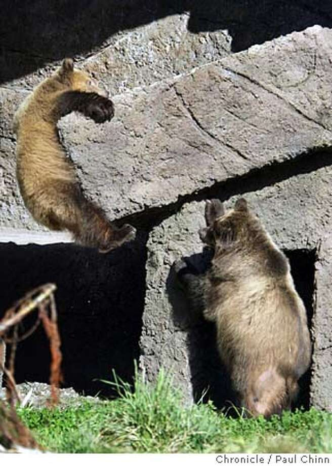 """Blonde (left) dangles from an outcropping as Chocolate watches the action. The San Francisco Zoo introduced their two new grizzly bears, temporarily known as """"Chocolate"""" and """"Blonde"""", on 11/17/04 in San Francisco, CA. Permanent Native American names will be chosen in a naming contest sponsored by the zoo. PAUL CHINN/The Chronicle Photo: PAUL CHINN"""