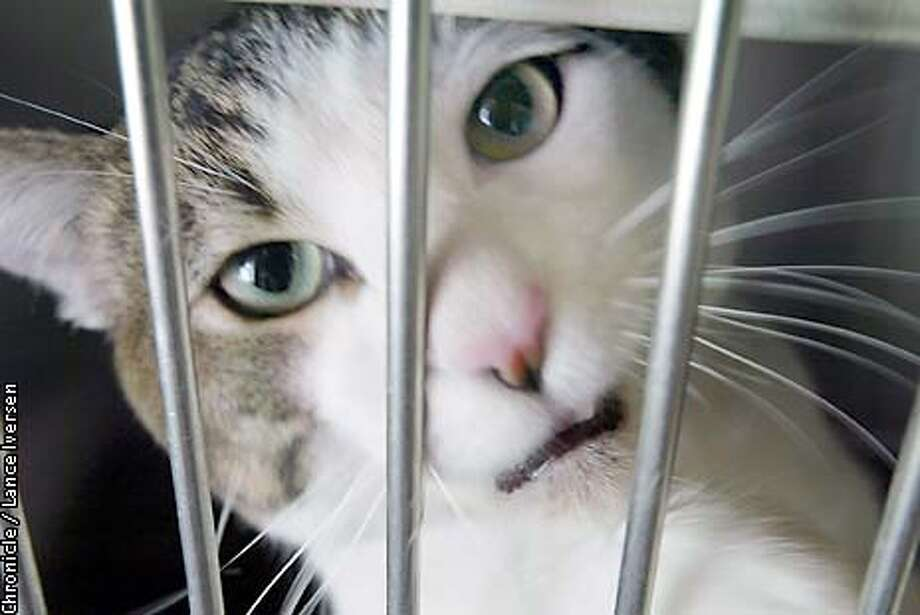 A cat that's up for adoption at the Sacramento County Animal shelter crys while State Assemblyman Mark Leno toured the facility wed. By LANCE IVERSEN/SAN FRANCISCO CHRONICLE Photo: LANCE IVERSEN