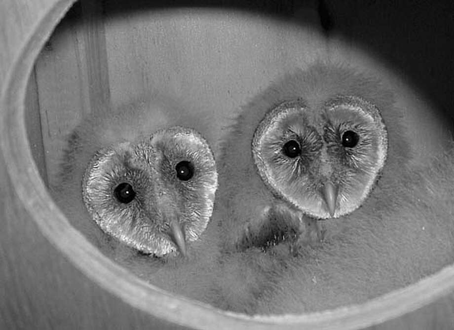 Photo of 2 baby barn owls in Tiburon. Photo: Barbara Caswell