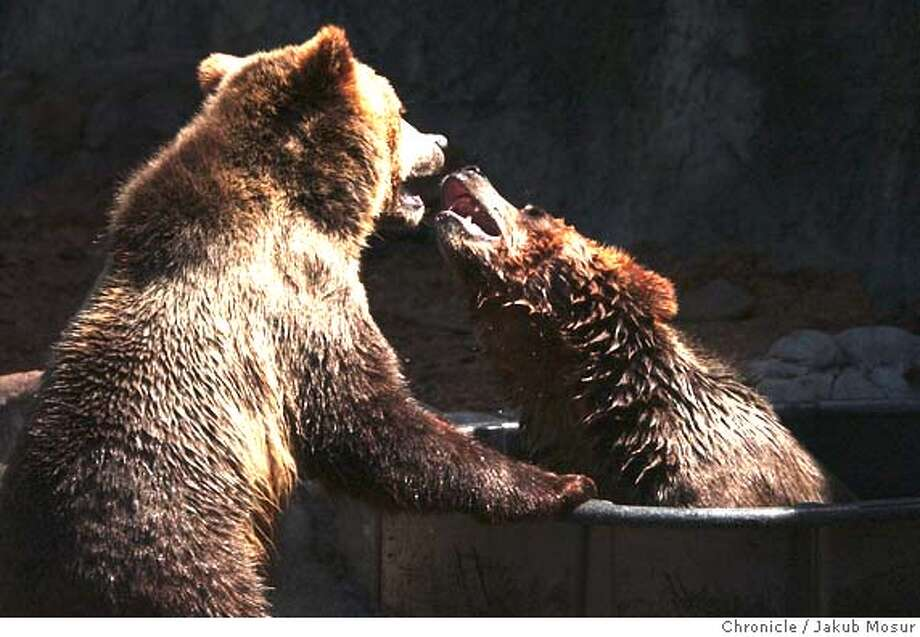 GRIZZLY01_JMM.JPG  The two new female grizzly bears play at the San Francisco Zoo.  Event on 4/15/05 in San Francisco. JAKUB MOSUR / The Chronicle MANDATORY CREDIT FOR PHOTOG AND SF CHRONICLE/ -MAGS OUT Photo: JAKUB MOSUR