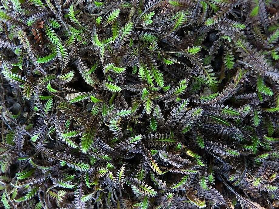 Cotula 'Platt's Black' Photo: Annie's Annuals & Perennials