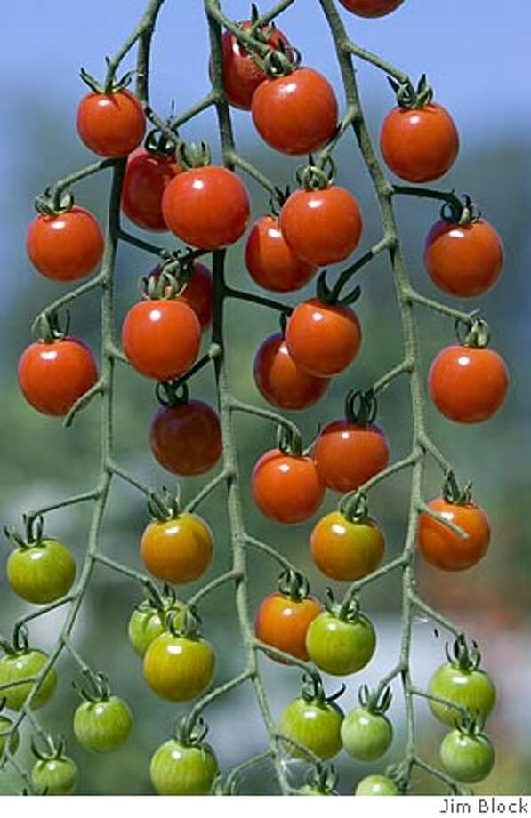Photo of 'Sugar snack' tomatoes. Photo by Jim Block Photo: Jim Block