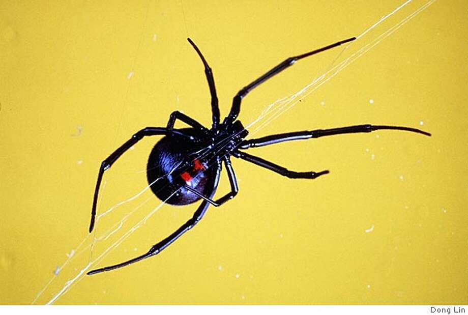 VENOM25E-C-21MAR00-DD-HO--Black widow spider. PHOTO CREDIT: DONG LIN