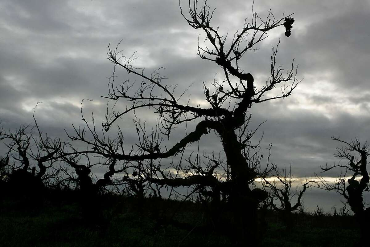 The Ghost vineyard has some of the oldest vines in the county in Acampo near Lodi on December 13, 2006.