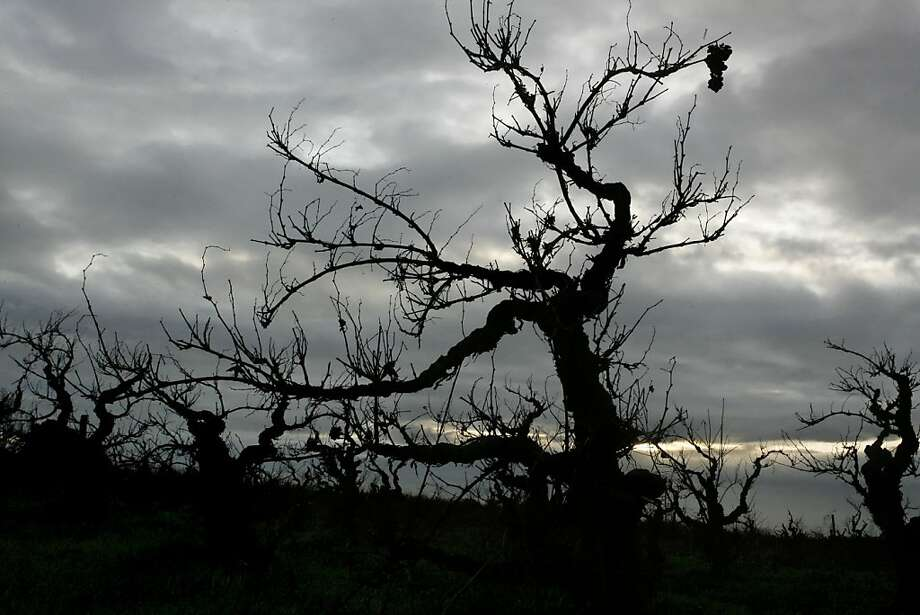 The Ghost vineyard has some of the oldest vines in the county in Acampo near Lodi on December 13, 2006. Photo: Kat Wade , The Chronicle 2006