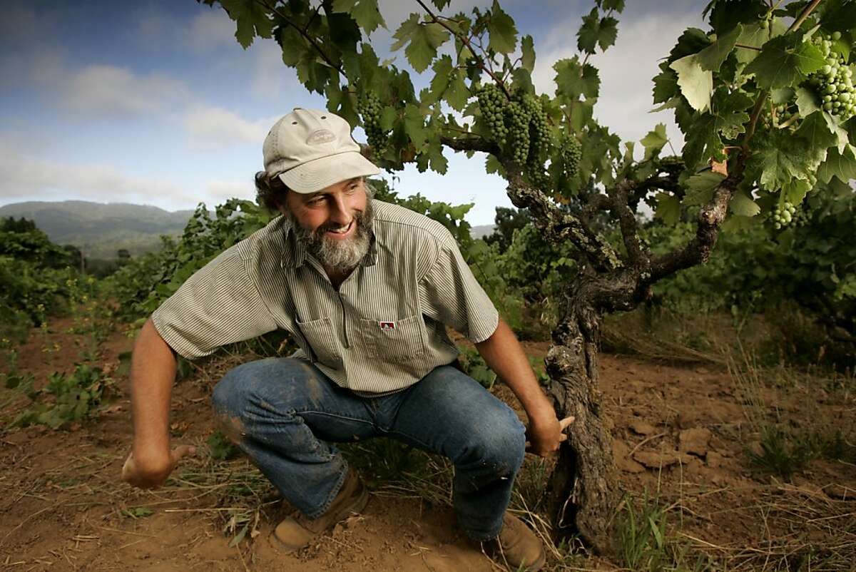 Old Zinfandel vines at Old Hill Ranch. Vineyard manager Will Bucklin poses his body and arms in the shape of an old Zinfandel vine.