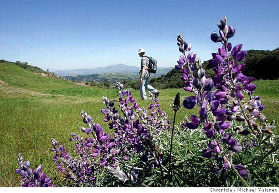 Lupine in the foreground, Mt Diablo in the background. Bob Johnson hikes an open grassy section of Sibley Preserve.  Bob Johnson, a volunteer with Greenbelt Alliance takes us on a 7 mile wildflower hike at Huckleberry Preserve and Sibley Regional Park, both in the Oakland hills. Johnson will be leading the same hike Sunday, April 17th for Greenbelt. Both parks are part of the East Bay Regional Parks system.  Photo by Michael Maloney / San Francisco Chronicle Photo: Michael Maloney