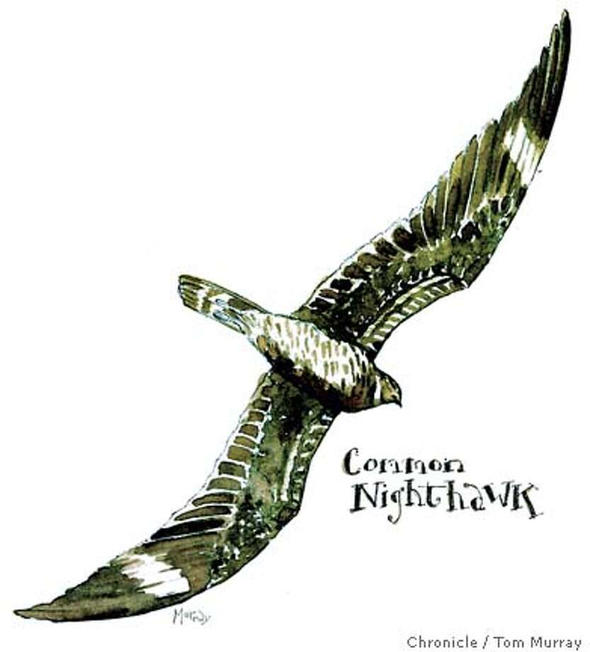 watercolor of nighthawk Photo: Chronicle Graphic