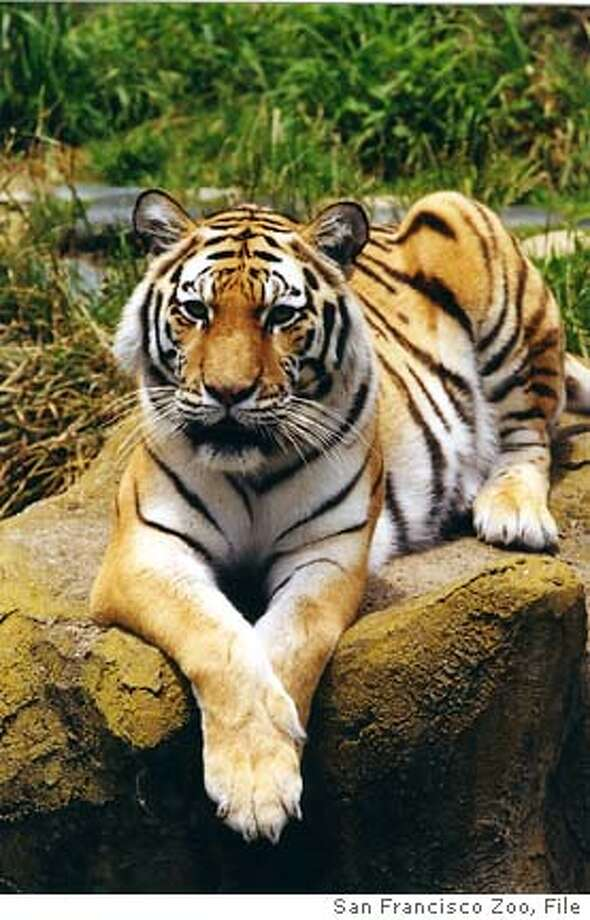 Photo of Emily, a 12-year-old female Siberian tiger, died last night at the San Francisco Zoo after she was observed as lethargic and bleeding from her nose in her outdoor enclosure late in the day.