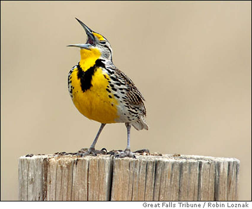 A trills from its fence post perch along Highway 223 near Fort Benton, Mont., Monday, April 11, 2005. The is the official state bird of Montana. The was first described for science by Meriwether Lewis in his journal on June 22, 1805 near Great Falls, Mont. (AP Photo/Great Falls Tribune / Robin Loznak