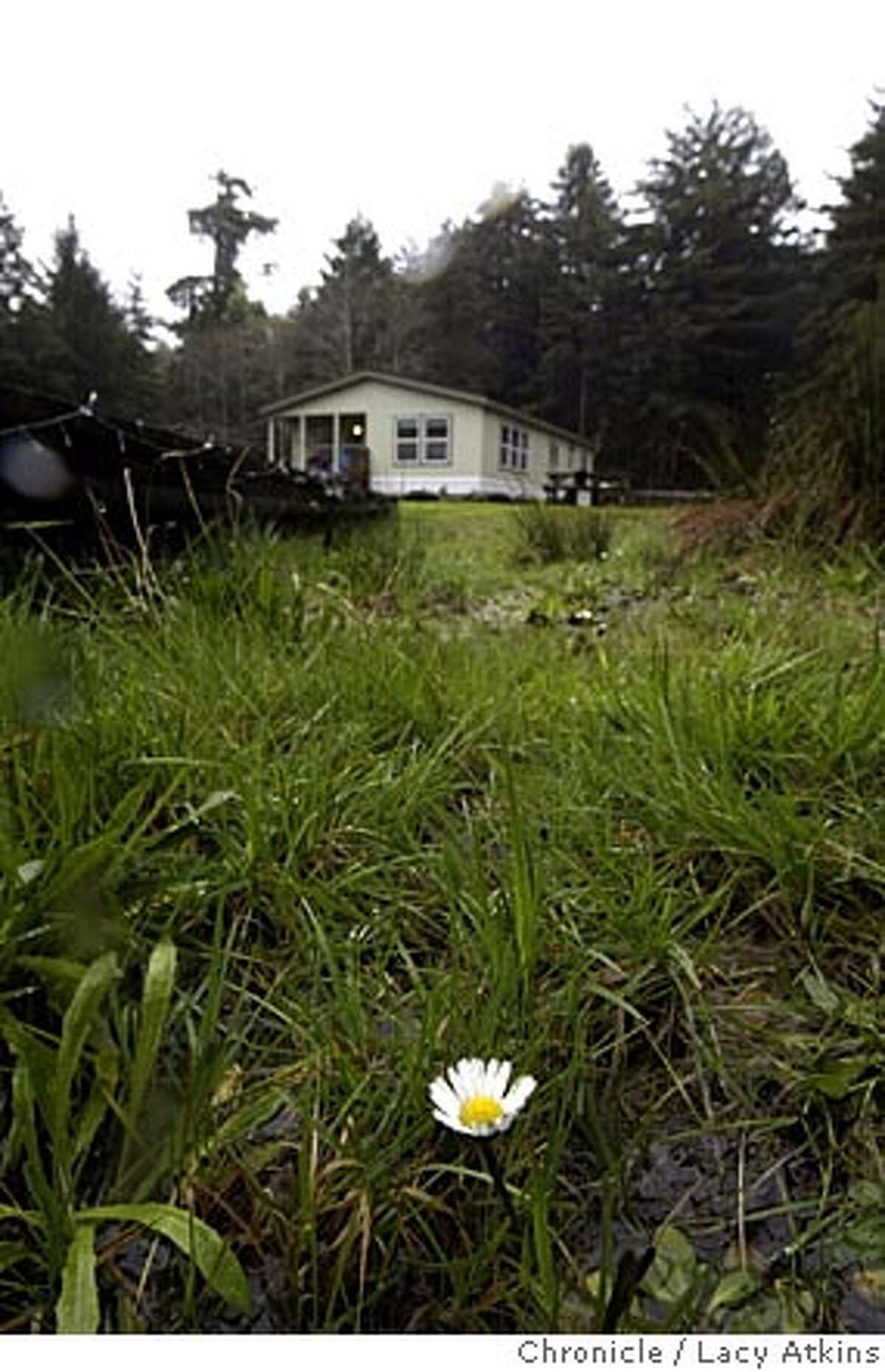 A single daisy blooms in the wetlands of Tom Abate property a his second home, Feb.27, 2005, in Eureka. A first person from Tom Abate guiding wannabe second home builders told through the eyes of yours truly, who last summer financed and engineered the construction of a three-bedroom, two bath manufactured home on 5 acres of Redwoods outside the college town of Eureka, Sudnay Feb.27,2005. Photographer Lacy Atkins