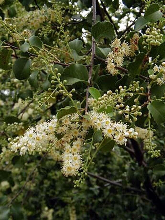 For LOCALS31; Prunus ilicifolia; Photo: Charles E. Jones; 1/1/04 in . Charles E. Jones / HO Photo: Charles E. Jones
