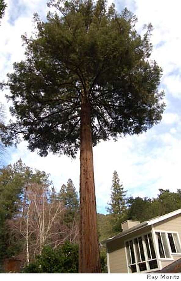 Redwoods are naturally �deciduous of their lower branches�. This can be trouble when they are over your home. Photo: Handout