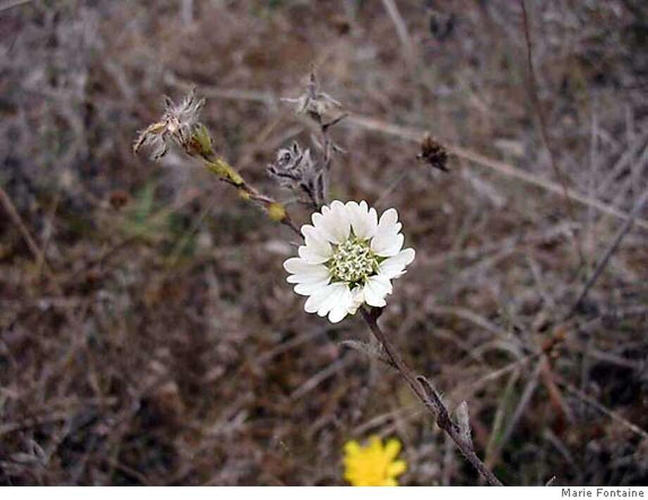 Hayfield tarweed recently turned up alive and well in the Presidio. Photo by Marie Fontaine