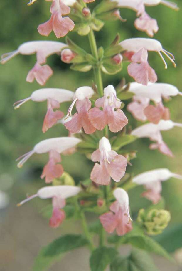 'Summer Jewel Pink' salvia Photo: All-America Selections