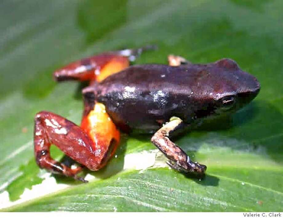 Mantella bernhardi frog of Madagascar. Credit: Vallerie C. Clark Photo: Vallerie C. Clark