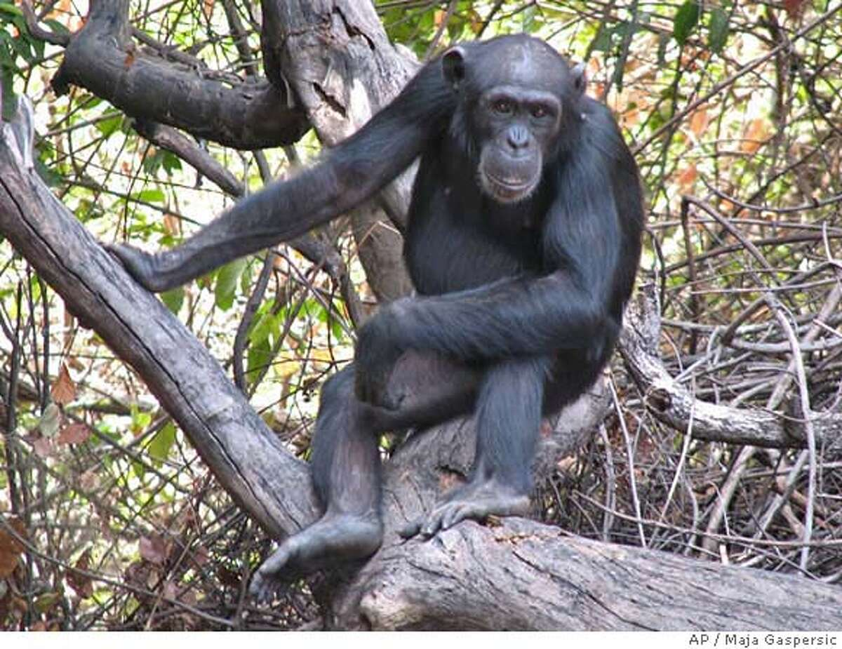 In this undated photo submitted by Maja Gaspersic, Tia, an adolescent female chimpanzee, is shown in Senegal. Tia is among the primates researchers say frequently uses spears to hunt bushbabies in Fongoli, Senegal. A team led by Iowa State University anthropology professor Jill Pruetz witnessed the spearings during an observation of chimpanzees from March 2005 to July 2006. The findings could show that chimps have a more advanced ability to hunt than was thought. (AP Photo/Iowa State University--Dept. of Anthropology, Maja Gaspersic)