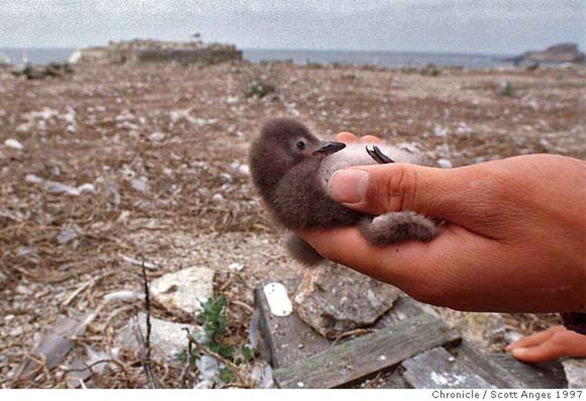 FARALLON1/C/2AUG97/MN/SA - A research volunteer examines a Cassin's Auklet chick on the Farallon Islands. (Scott Anger/the Chronicle) CAT