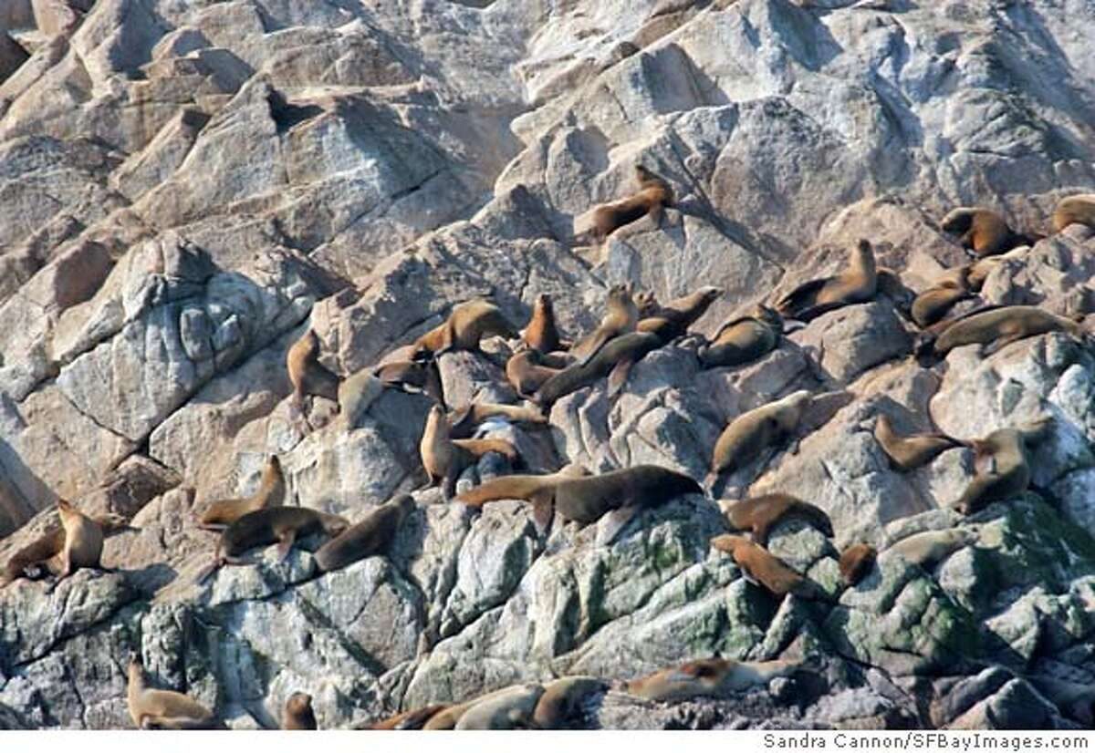 Steller Sea Lions and Pups with Endangered Fur Seal with white mask in lower left basking in sun, Gulf of the Farallones Marine Sanctuary. Photo by Sandra Cannon/SFBayImages.com