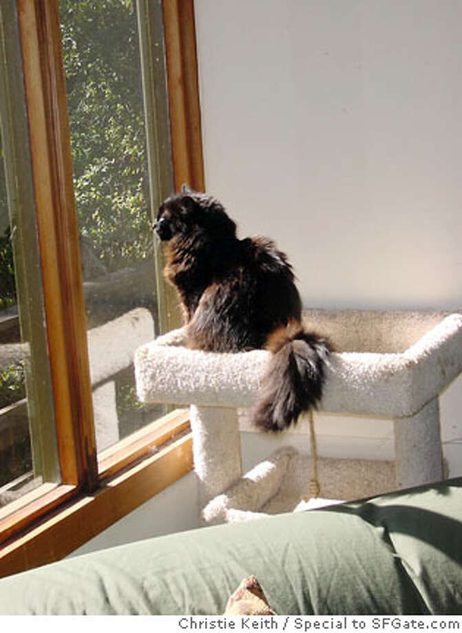 Samson on the cat tree. Photo by Christie Keith, special to SFGate.com