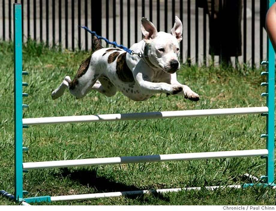 pitbull11_055_pc.jpg  A pit bull named Spencer leaps over a hurdle in an agility demonstration. The East Bay SPCA and BAD RAP, Bay Area Dog lovers Responsible About Pit Bulls, held a news conference on 8/10/05 in Oakland, Calif. to announce details of an adoption and education program.  PAUL CHINN/The Chronicle MANDATORY CREDIT FOR PHOTOG AND S.F. CHRONICLE/ - MAGS OUT Photo: PAUL CHINN