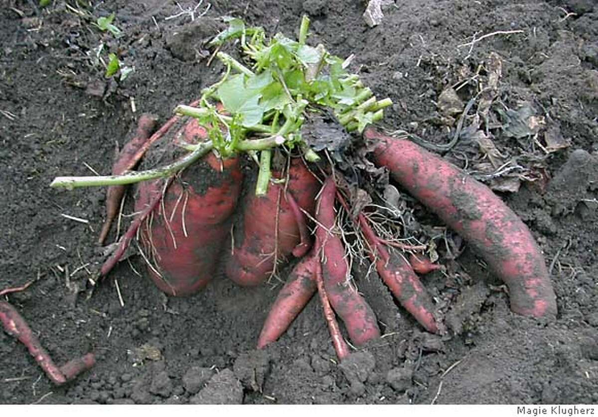 'Diane,' or 'Garnet,' sweet potatoes were praised for their taste. Photo by Magie Klugherz