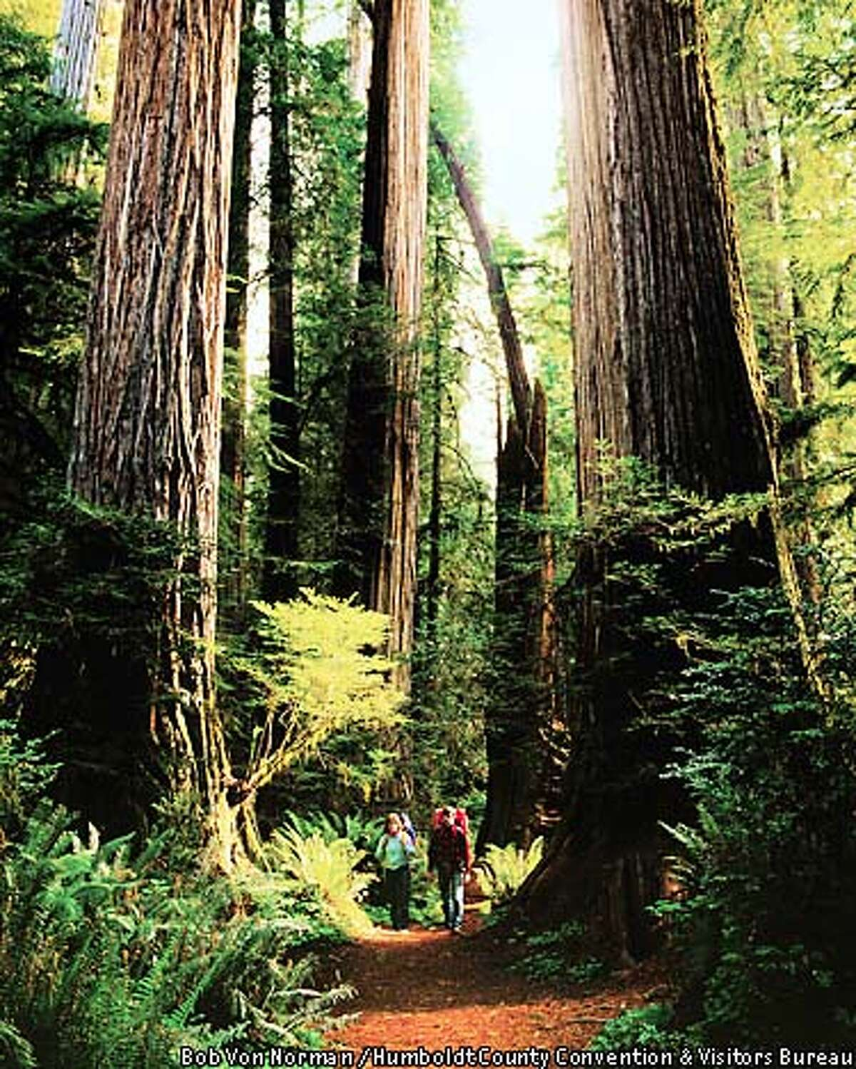Among giants: While not all of them are open to the public, Humboldt County redwood forests hold some of the world's tallest and oldest trees. Humboldt County Convention & Visitors Bureau photo by Bob Von Norman