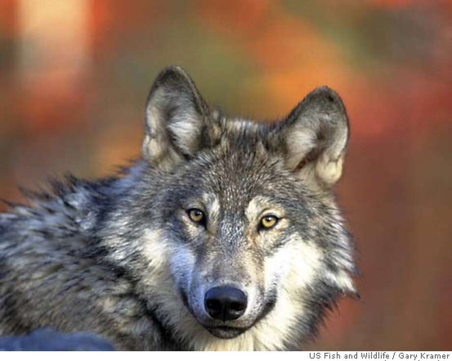 The wolf was reintroduced to the United States from the Canadian wilderness in the mid-1990s. U.S. Fish and Wildlife photo by Gary Kramer
