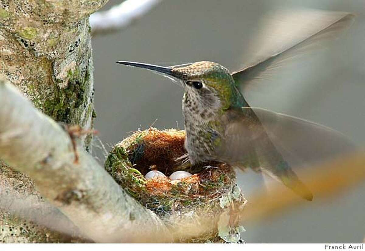 This Anna's hummingbird laid two eggs in early February. Photo by Franck Avril