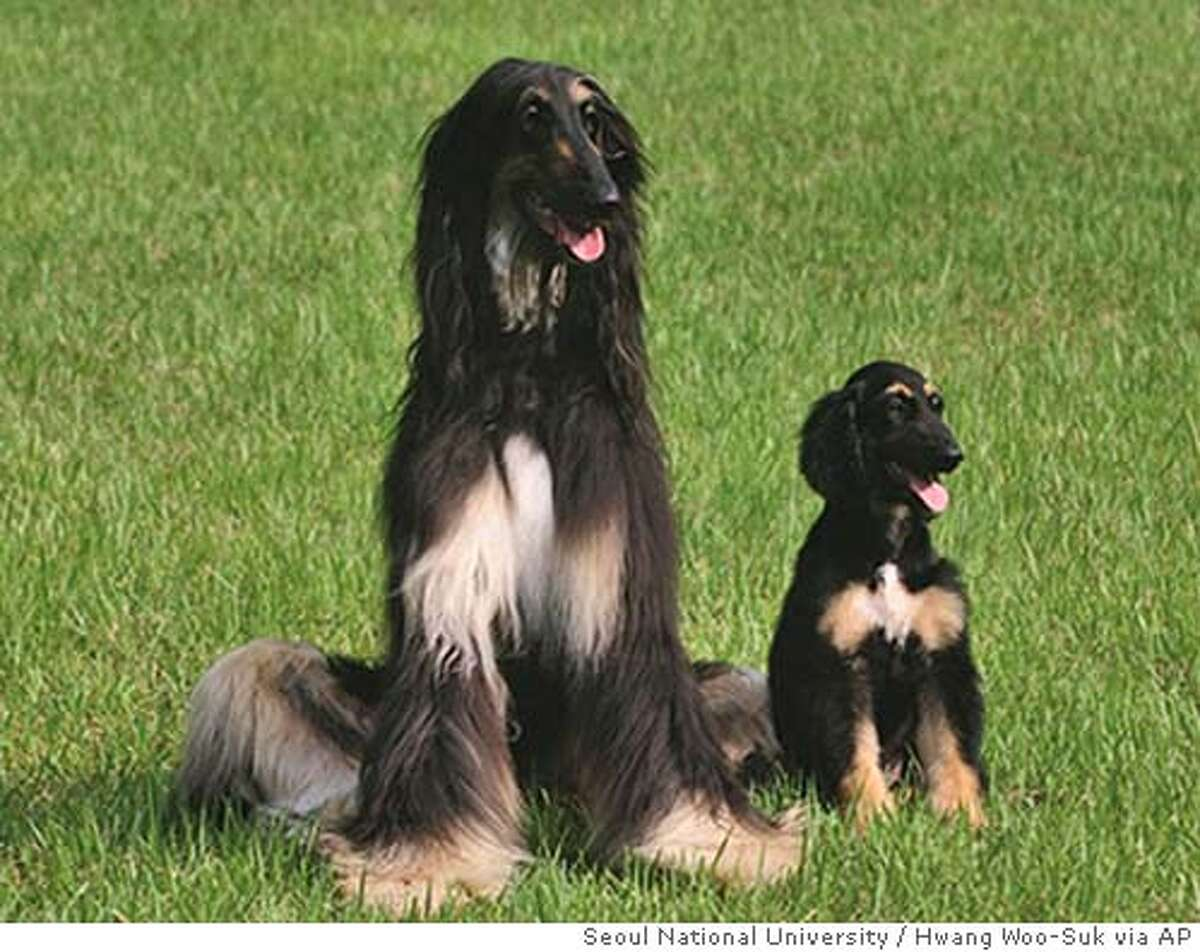 ** EMBARGOED UNTIL 1:00 PM EDT, WEDNESDAY, AUG. 3, 2005 ** In this undated photo provided by Seoul National University, Snuppy, the first cloned dog, at 67 days after birth, right, appears with the three-year old male Afghan hound whose somatic skin cells were used to clone him, at Seoul National University, in Seoul, Korea. Snuppy is genetically identical to the donor Afghan hound. (AP Photo/Seoul National University, Hwang Woo-Suk)