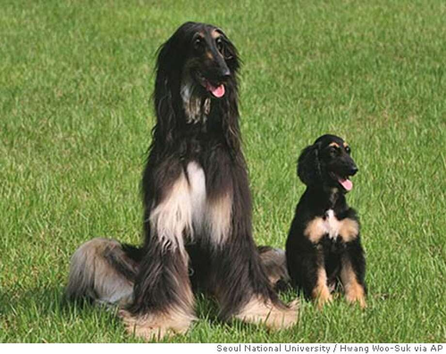 ** EMBARGOED UNTIL 1:00 PM EDT, WEDNESDAY, AUG. 3, 2005 ** In this undated photo provided by Seoul National University, Snuppy, the first cloned dog, at 67 days after birth, right, appears with the three-year old male Afghan hound whose somatic skin cells were used to clone him, at Seoul National University, in Seoul, Korea. Snuppy is genetically identical to the donor Afghan hound. (AP Photo/Seoul National University, Hwang Woo-Suk) Photo: HWANG WOO-SUK