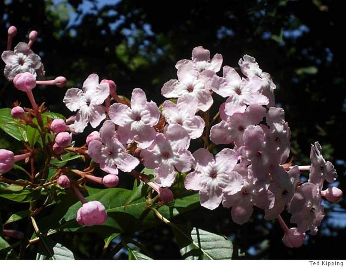 Luculia's blooming colors vary from soft mauve pink to creamy white, but deeper, rosy-colored varieties are possible, too. Photo by Ted Kipping