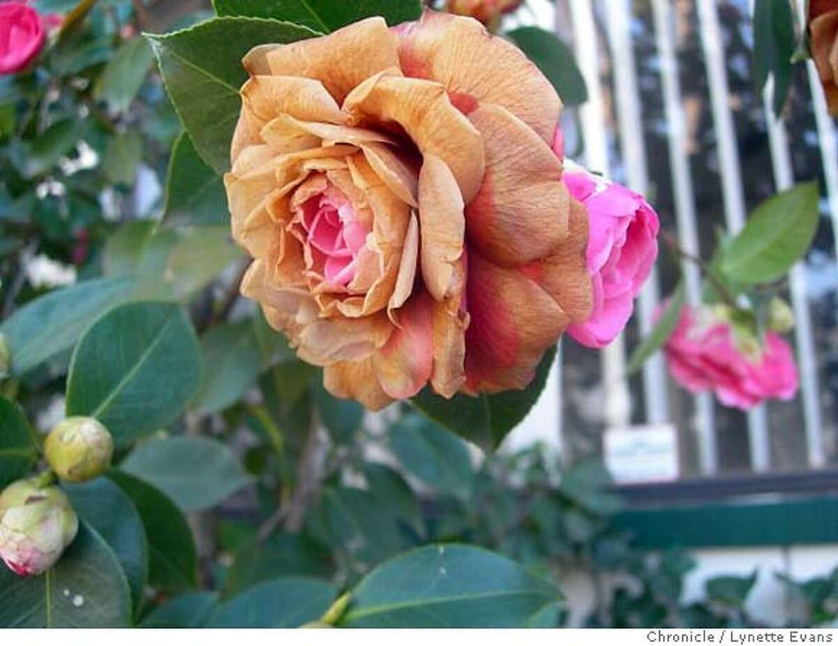 A camellia damaged by the January freeze. Camellias are in bloom, and now is a good time to purchase them. Chronicle photo by Lynette Evans