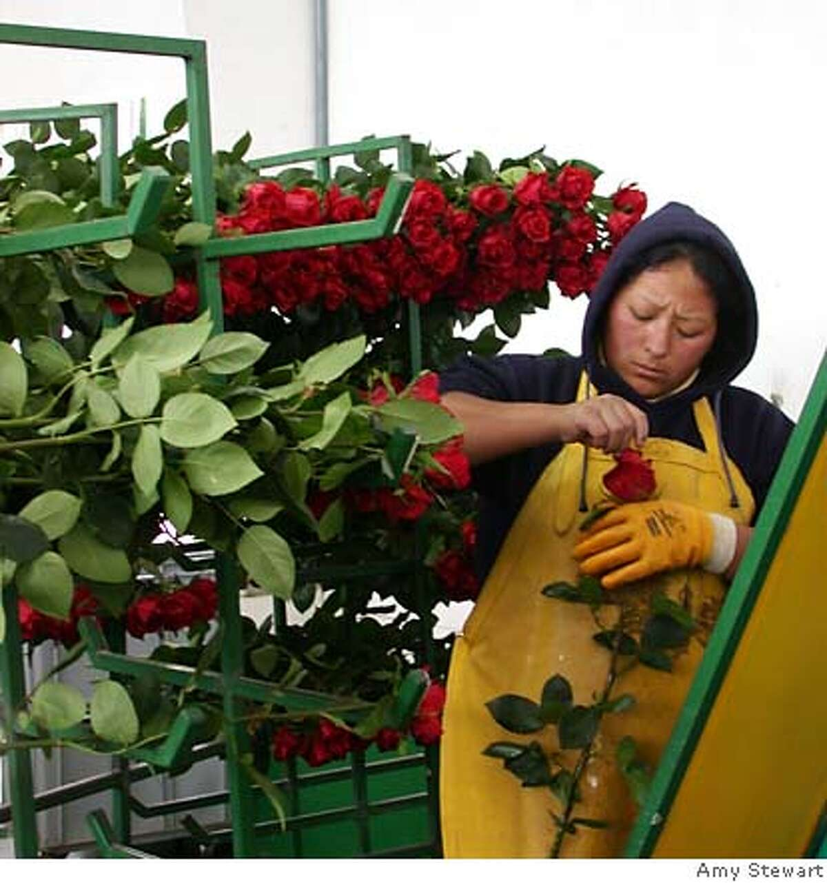 A worker tends to roses at Nevado Ecuador, one of the Latin American farms that uses either exclusively organic or sustainable techniques in its greenhouses. Photo by Amy Stewart