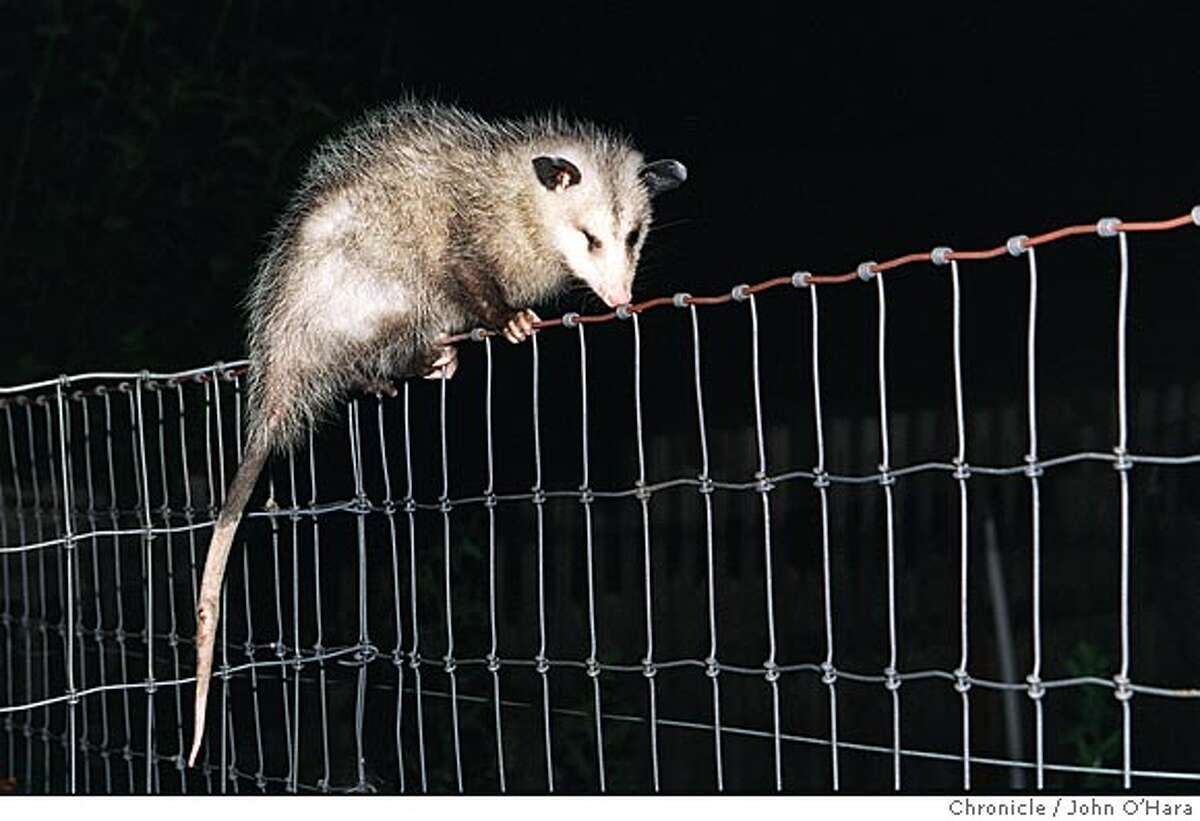 OPOSSUM/C/06AUG99/??/JO Petaluma, Ca. An Opossum baby walking along the top of the fence. Photo by...................John O'Hara Ran on: 05-13-2005 Natures cleanup crew, opossums, raccoons and skunks, are part of a talk at the Sulphur Creek Nature Center. Details at right.