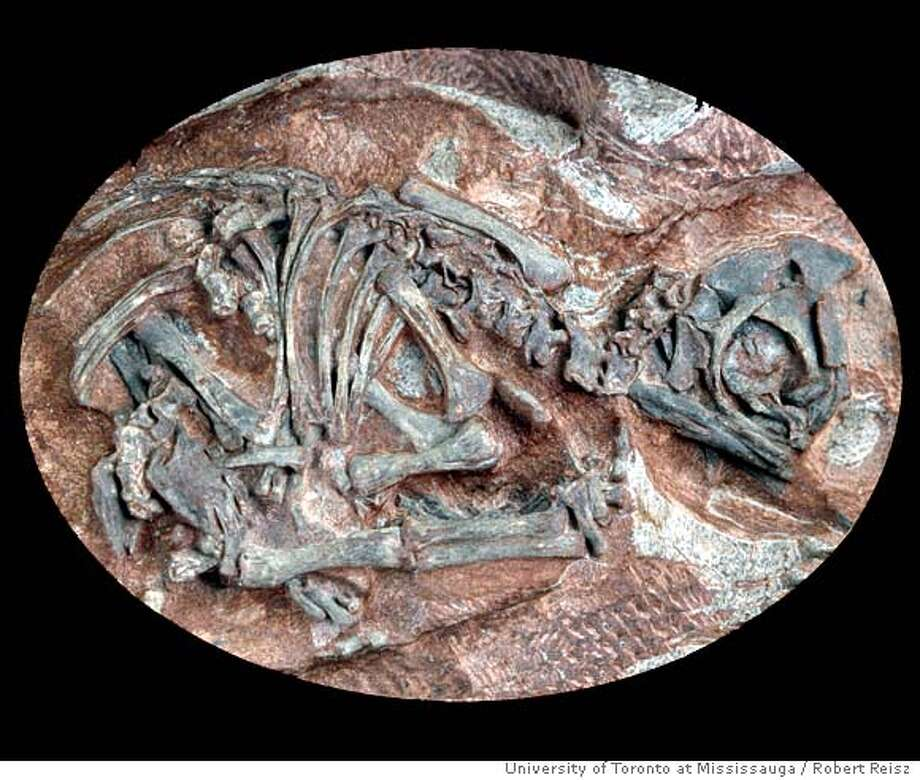 (NYT24) UNDATED -- July 28, 2005 -- DINOSAUR-EMBRYOS -- Embryonic skeleton of the prosauropod dinosaur Massospondylus as preserved inside the egg. Scientists have now uncovered several 190-million-year-old dinosaur embryos, the oldest ever found. The discovery is being reported today Friday in the journal Science by a team of paleontologists headed by Robert Reisz of the University of Toronto. (Courtesy of Robert Reisz/University of Toronto at Mississauga/The New York Times)**ONLY FOR USE WITH STORY BY JOHN NOBLE WILFORD SLUGGED: DINOSAUR-EMBRYOS. ALL OTHER USE PROHIBITED. Ran on: 07-29-2005  A flesh reconstruction of the herbivorous prosauropod dinosaur Massospondylus carinatus as an adult. Photo: Robert Reisz/University Of Toron