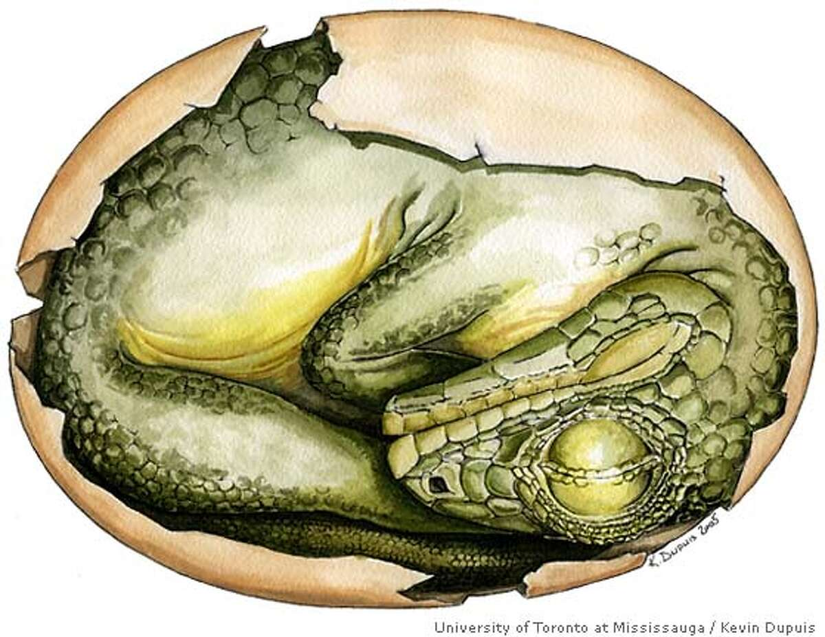 Reconstruction showing the curled up embryo of the dinosaur Massospondylus inside the egg. Egg is 6 centimeters in length. Credit for dinoinegg: Artwork by Kevin Dupuis/Courtesy of University of Toronto at Mississauga
