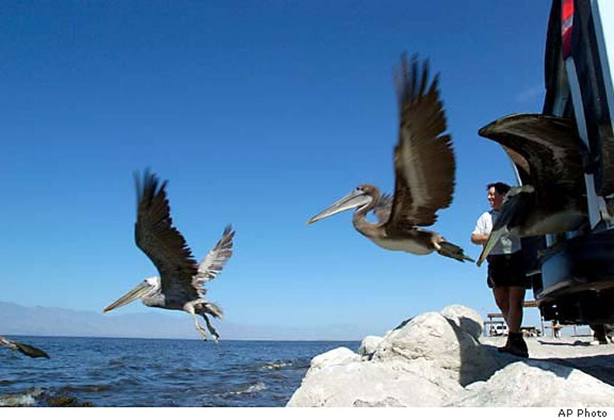 Endangered brown pelicans are released at the Salton Sea State Recreation Area in 2004. The area hosts a bird festival Feb. 16-19. Associated Press file photo, 2004, by Taya Kashuba