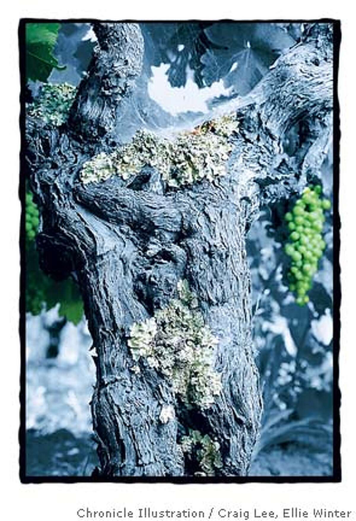 OLDVINE28_660_cl.JPG_Photo of old Zinfandel vines at Old Hill Ranch, Will Bucklin is the vineyard manager. Close-up detail photo to show the gnarliness of these old vines._Event on 7/22/05 in Sonoma.__Craig Lee / The Chronicle__MANDATORY CREDIT FOR PHOTOG AND SF CHRONICLE/ -MAGS OUT