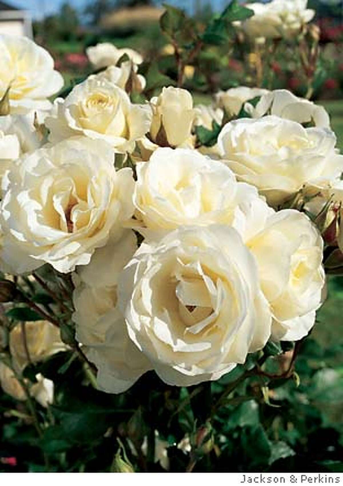 Courtesy: Jackson & Perkins Moondance, a creamy white Floribunda, should fare well in the Bay Area because blooms have 25-30 petals each.